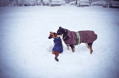 Cães no frio do divertimento do inverno de janeiro fevereiro da neve Imagem de Stock Royalty Free