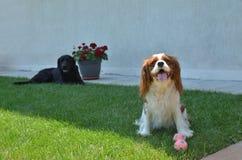 Cães no jardim Imagem de Stock