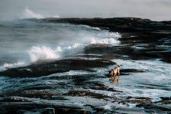 Cães no northshore no mar de Barents Imagens de Stock Royalty Free