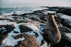 Cães no northshore no mar de Barents Fotografia de Stock Royalty Free