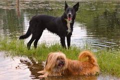 Cães no rio IJssel perto de Zwolle fotos de stock