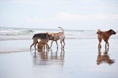 Cães no Sandy Beach, vacantion do verão Foto de Stock