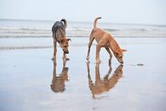 Cães no Sandy Beach, vacantion do verão Fotos de Stock