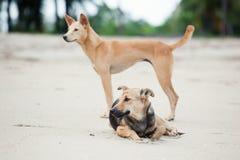 Cães no Sandy Beach, vacantion do verão Fotografia de Stock Royalty Free