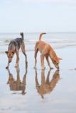 Cães no Sandy Beach, vacantion do verão Imagem de Stock