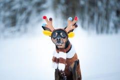 Cães no traje dos cervos, cão fantástico dos cervos do inverno foto de stock royalty free