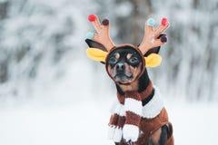 Cães no traje dos cervos, humor do inverno, cervo fantástico fotos de stock royalty free