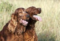Cães no verão Imagem de Stock