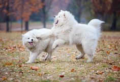Cães novos do samoyed que jogam no parque do outono Fotografia de Stock