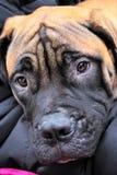 Cães para a venda Foto de Stock Royalty Free