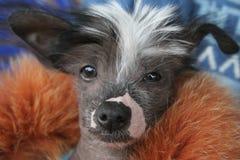 Cães para a venda Imagens de Stock