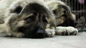 Cães-pastor video estoque