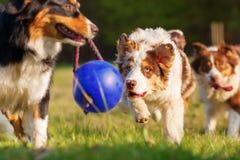 Cães-pastor australianos que correm para uma bola Fotografia de Stock