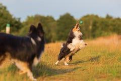 Cães-pastor australianos que jogam em um trajeto do país Imagens de Stock Royalty Free