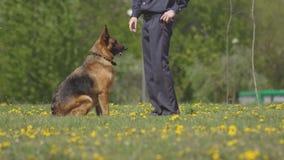 Cães pastor bonitos e inteligentes do serviço de treinamento dos cães, cynology, desempenho da demonstração, alimentador de cão filme