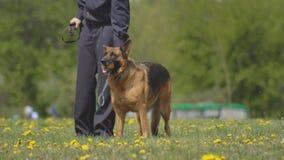 Cães pastor bonitos e inteligentes do serviço de treinamento dos cães, cynology, desempenho da demonstração, alimentador de cão vídeos de arquivo