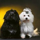 Cães pequenos Fotografia de Stock Royalty Free