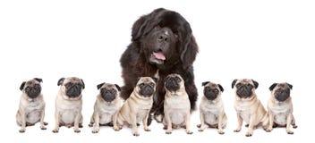 Cães pequenos do cão grande Imagem de Stock