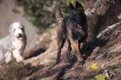 Cães que andam na floresta Foto de Stock