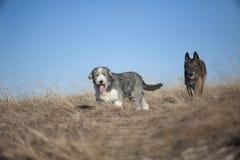 Cães que andam na natureza Fotografia de Stock