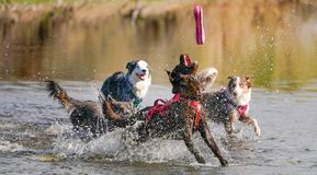 Cães que correm e que jogam na água Imagem de Stock Royalty Free