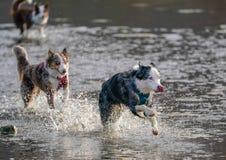 Cães que correm e que jogam na água Foto de Stock