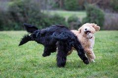 Cães que correm e que jogam fotografia de stock royalty free