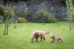 Cães que correm e que jogam Imagem de Stock