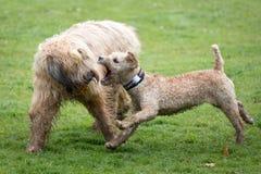 Cães que correm e que jogam Fotos de Stock Royalty Free