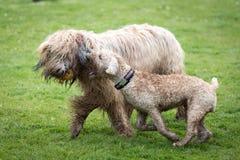 Cães que correm e que jogam Foto de Stock Royalty Free