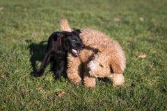 Cães que correm e que jogam Imagens de Stock