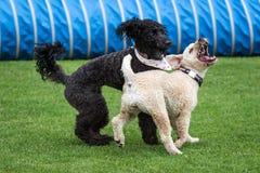 Cães que correm e que jogam Foto de Stock