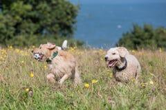 Cães que correm e que jogam Imagens de Stock Royalty Free