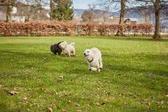 Cães que correm e que têm o divertimento no parque Fotos de Stock
