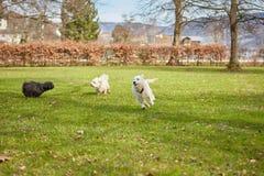 Cães que correm e que têm o divertimento no parque Fotos de Stock Royalty Free