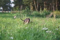 Cães que correm no campo verde Fotografia de Stock Royalty Free