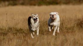 Cães que correm no gramado Fotos de Stock