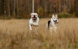 Cães que correm no gramado Imagens de Stock Royalty Free