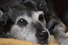 Cães que crescem velhos junto Fotografia de Stock