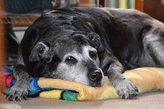 Cães que crescem velhos junto Fotos de Stock