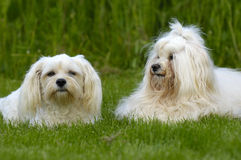 Cães que descansam na grama Fotos de Stock Royalty Free