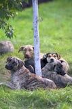 Cães que encontram-se em torno de uma árvore Imagem de Stock
