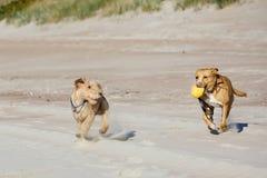 Cães que jogam a bola na praia imagem de stock