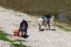 Cães que jogam com a bola no banco do rio Imagem de Stock Royalty Free