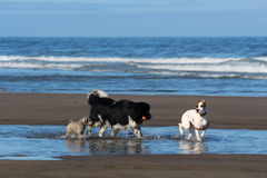 Cães que jogam na costa de Oregon Foto de Stock
