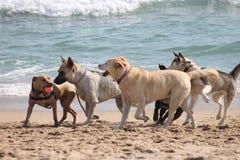 Cães que jogam na praia imagem de stock royalty free