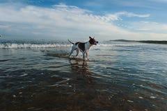 Cães que jogam na praia Fotografia de Stock