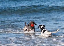 Cães que jogam no oceano com uma bola vermelha imagem de stock royalty free