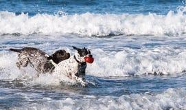 Cães que jogam no oceano fotografia de stock royalty free
