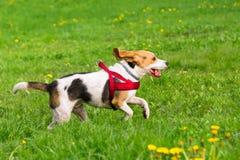 Cães que jogam no parque Fotografia de Stock Royalty Free